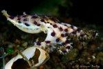 Австралийский осьминог